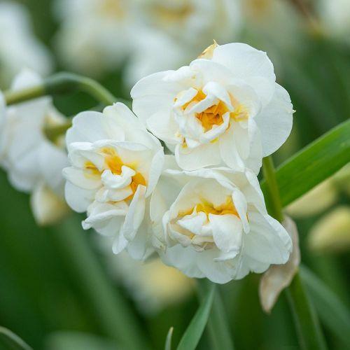 Biologische bloembol Narcis 'Bridal Crown' - 10 stuks