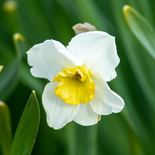 Biologische bloembol Narcis 'Pappilon Blanc' - 10 stuks