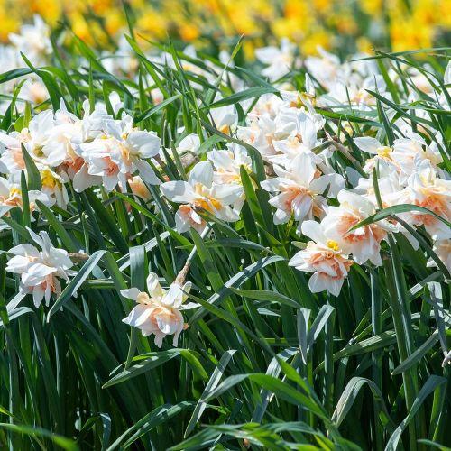 Biologische bloembol Narcis 'Replete' - 10 stuks