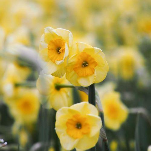 Biologische bloembol Narcis 'Sundisc' - 10 stuks
