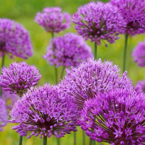 Biologische bloembol Sierui - 5 stuks