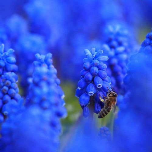 Biologisch Blauw Druifje