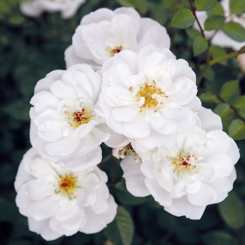 Bijenweelde wit