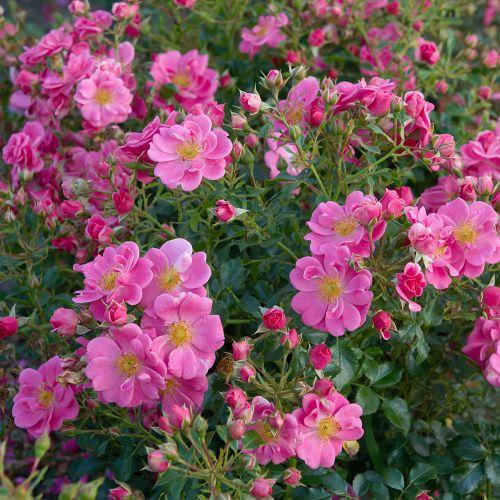 Bijenweelde roze